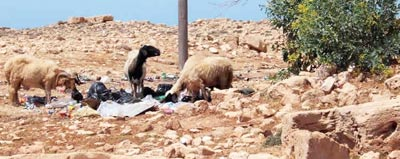 sheep grazing through rubbish in an archaeological site