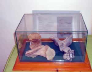 dinosaur fossils in a glass box