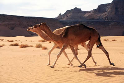 camel elgance, running with pride