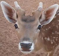 gazelle from the sahara