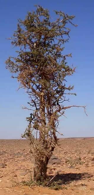 solitary tree in Messak hamada