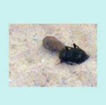 beetle from ghadames museum