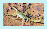 sahara desrt scorpion