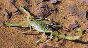 Libyan Desert Scorpion