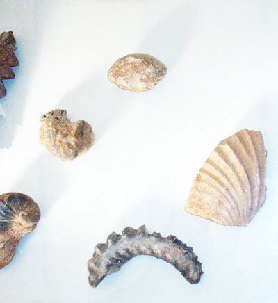 Fossils of wildlife from the sahara, near Ghadames in Libya