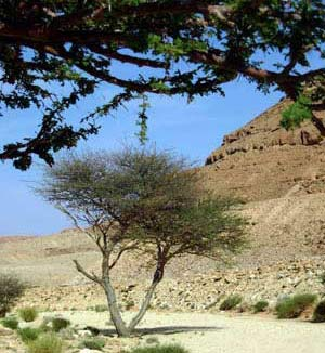 sahara acacia