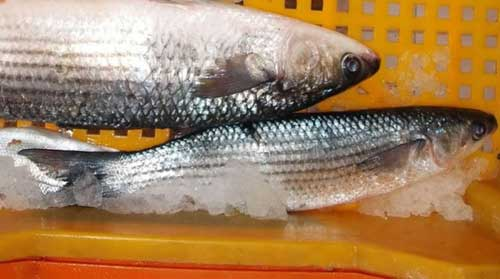 fish caught in Abu Kammash