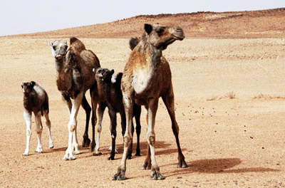 a family of camels
