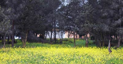 the garden of Qasr Libya, showing the floor covered in lemon yellow flowers with big trees in the background
