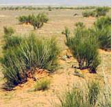 sahara wild bush