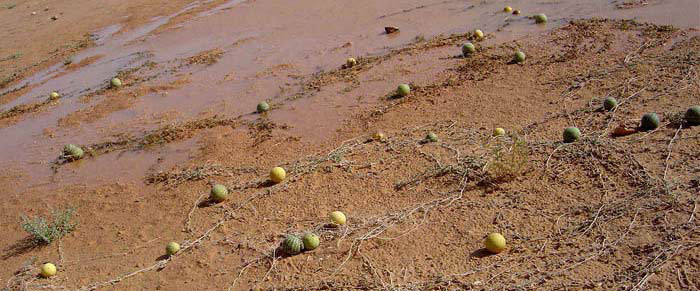 Parched Sahara Desert is