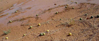 saharan gourds: Citrullus colocynthis