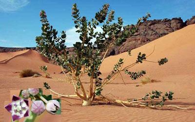 succulent sahara tree