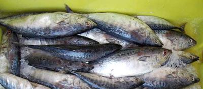 azduz, a type of fish (Mackerel)