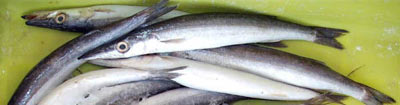 azday, a type of fish