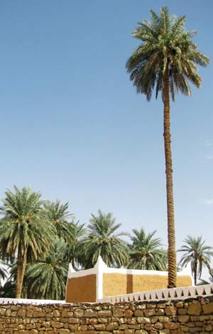 very tall palm